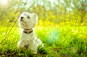 west highland white terrier on the grass